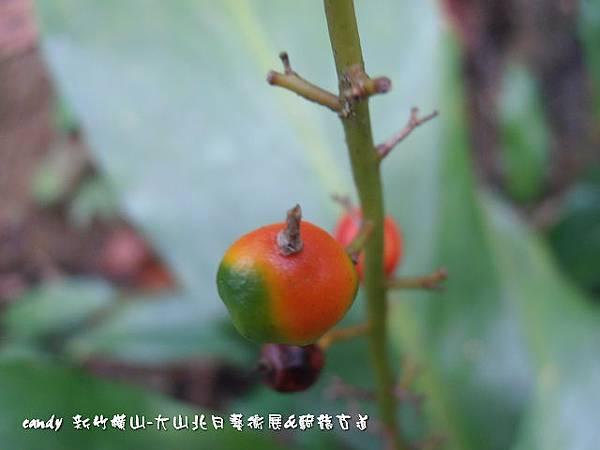(薑科)山月桃果實