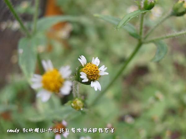 (菊科)粗毛小米菊