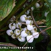 (苦苣苔科)同蕊草