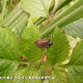 (擬步行蟲科)大偽金花蟲