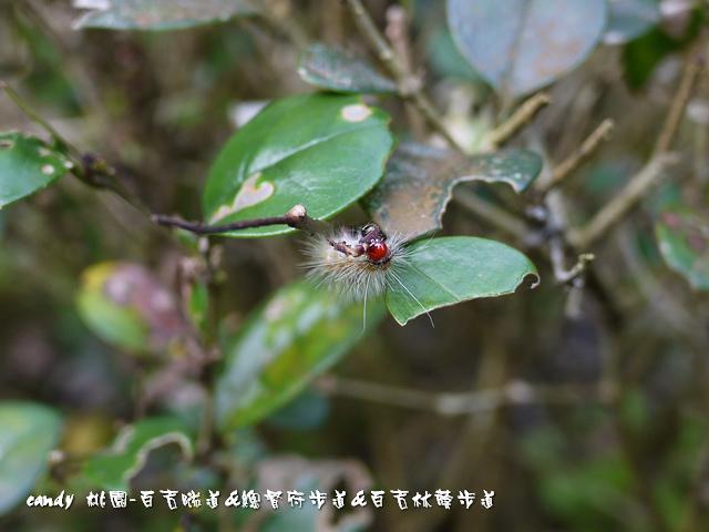19-(燈蛾科)暗點燈蛾的幼蟲