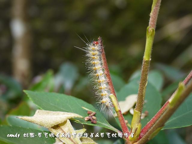 21-(燈蛾科)暗點燈蛾的幼蟲