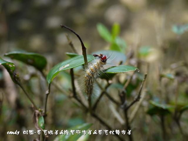 20-(燈蛾科)暗點燈蛾的幼蟲
