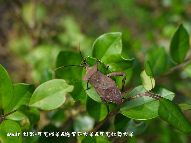 29-(緣椿象科)粗腿巨緣椿象