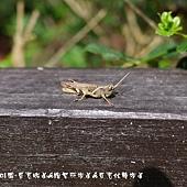 (斑腿蝗科)短角異斑腿蝗