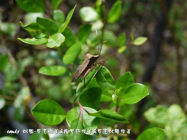 30-(緣椿象科)粗腿巨緣椿象