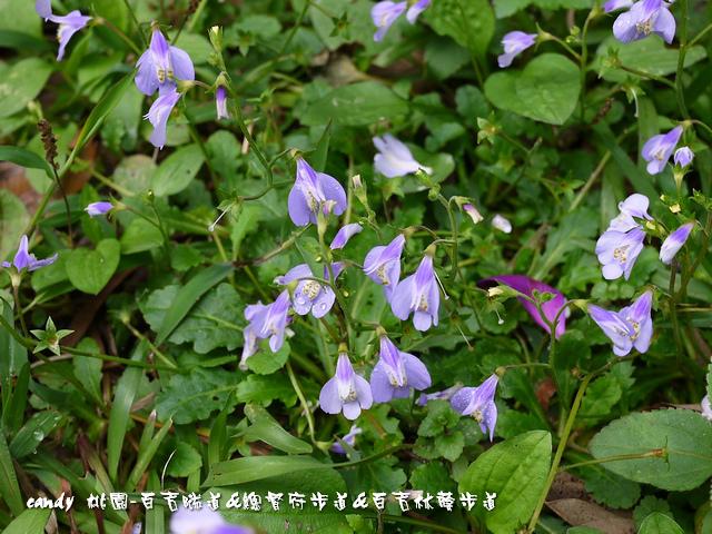 92-(玄參科)通泉草