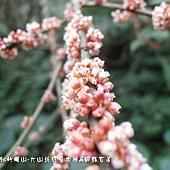 (蕁麻科)長梗紫苧麻的花