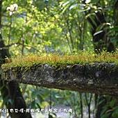 (苔蘚植物)青苔孢子