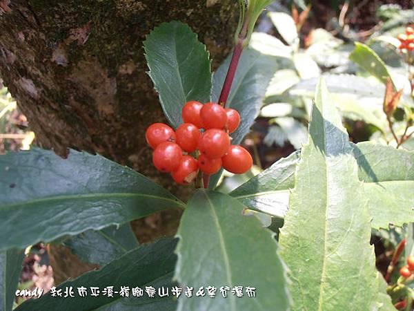 (金粟蘭科)紅果金粟蘭