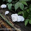 (多孔菌科)略薄多孔菌,屬多孔菌科一種,是木棲腐生的中小型菇類,  該菇類生長於如台灣等地之低中海拔林區,生長期間約是在春夏兩季之間。  此種菇類食用價值頗大,可烹煮食用。