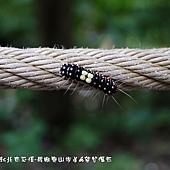 (斑蛾科)山龍眼螢斑蛾