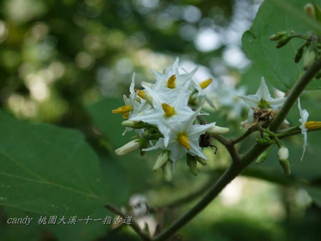 75-(茄科)萬桃花