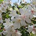 (大戟科)油桐花