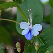 (馬鞭草科)藍蝴蝶花