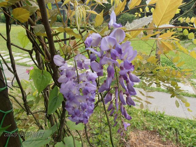 11-(豆科)紫藤花