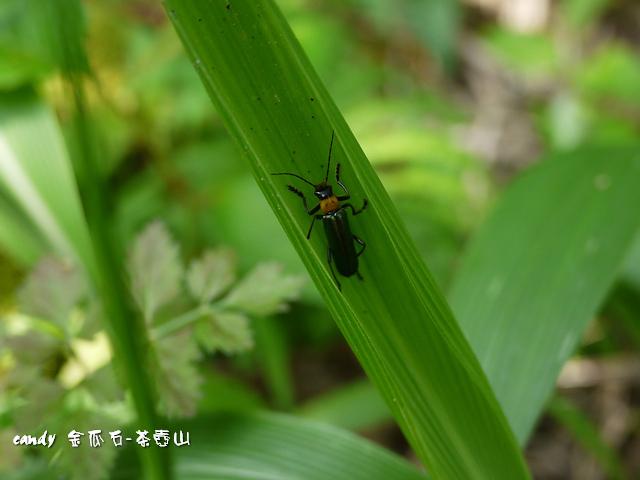 18-(菊虎科)台南琉璃異菊虎