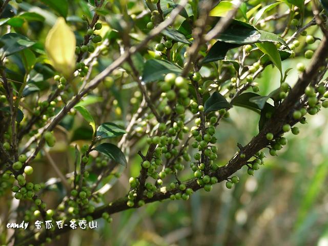 24-(茶科)假柃木果實