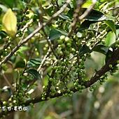 (茶科)假柃木果實