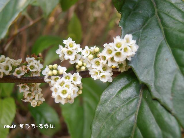 22-(紫金牛科)台灣山桂花
