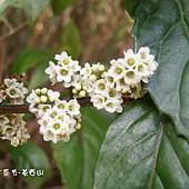 (紫金牛科)台灣山桂花