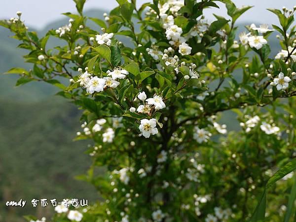 (薔薇科)台灣老葉兒樹(華石楠)