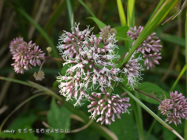 61-(菊科)田代氏澤蘭