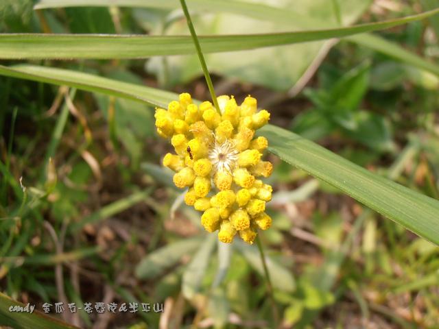 91-(菊科)鼠麴草花