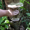 (多孔菌科)松生擬層孔菌,以及紅緣擬層孔菌,俗名都是猴板凳。 也就是說這兩種很相似。