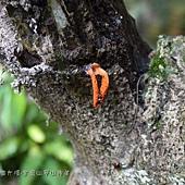 (籠頭菌科)紡錘佛手菌,又稱三爪假生鬼筆