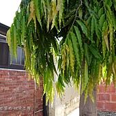 (番荔枝科)印度塔樹