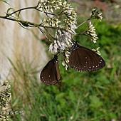 (蛺蝶科)紫斑蝶
