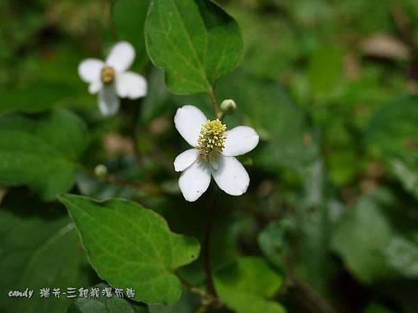 (三白草科)蕺菜(魚腥草)