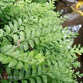 (陵齒蕨科)海島陵齒蕨