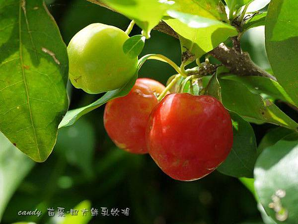 (黃褥花科)西印度櫻桃