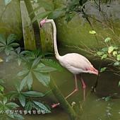 (紅鶴科)紅鶴又名火鶴或火烈鳥