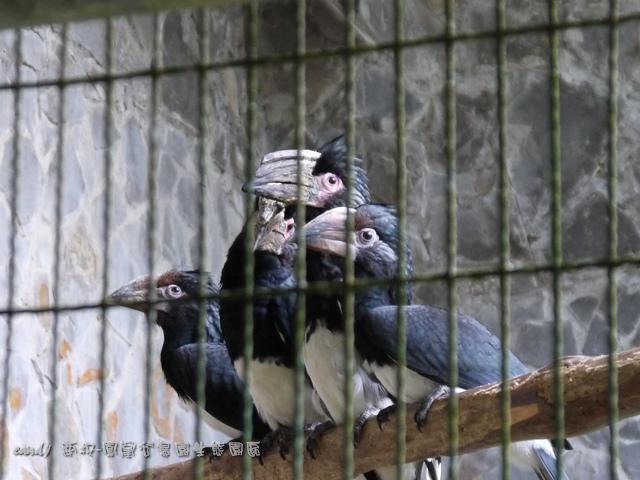 23-噪犀鳥