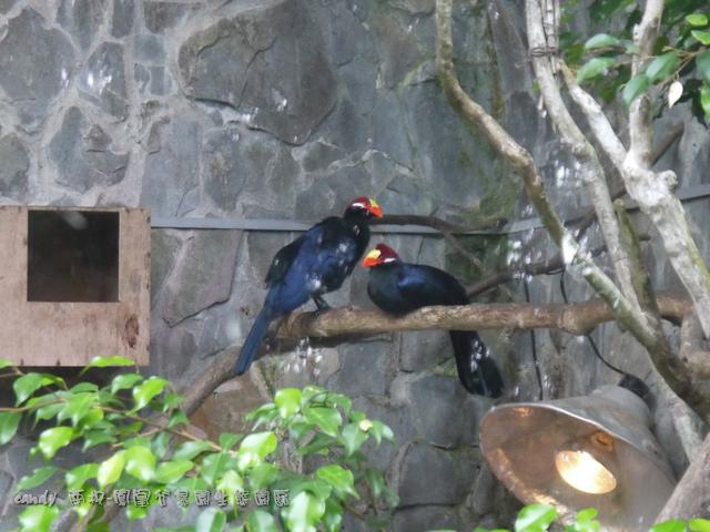 22-籃紫僧帽鳥