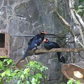 (蕉鵑科)紫蕉鵑(藍紫僧帽鳥)