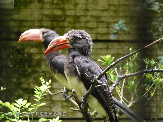 39-冠犀鳥