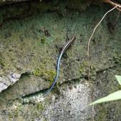 (石龍子科)麗紋石龍子(幼體)(藍尾蜥蜴)