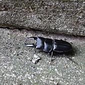 (鍬形蟲科)鍬形蟲