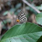 (小灰蝶科)三星雙尾燕蝶