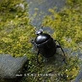 (金龜子科)糞金龜