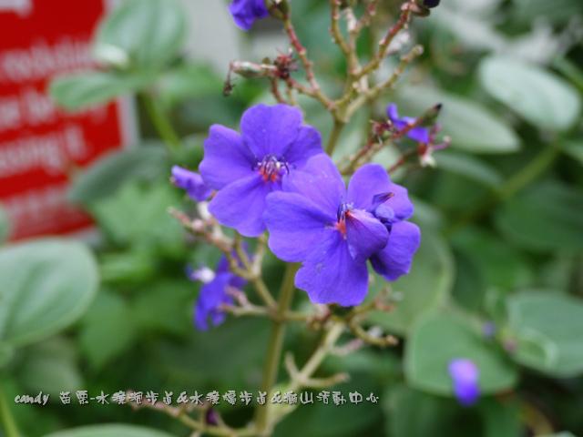 15-(野牡丹科)銀絨野牡丹