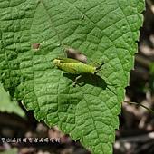 (蝗科)台灣稻蝗 ,若蟲