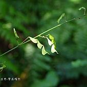 (豆科)細梗山螞蝗的莢果