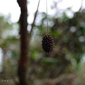 (繭蜂科)懸繭蜂的繭團