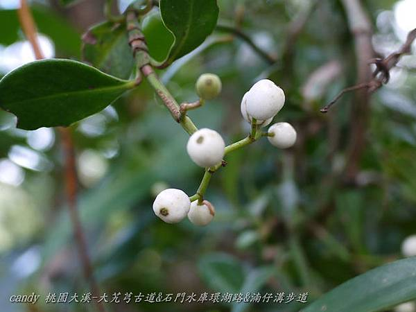 (茜草科)拎壁龍的果實