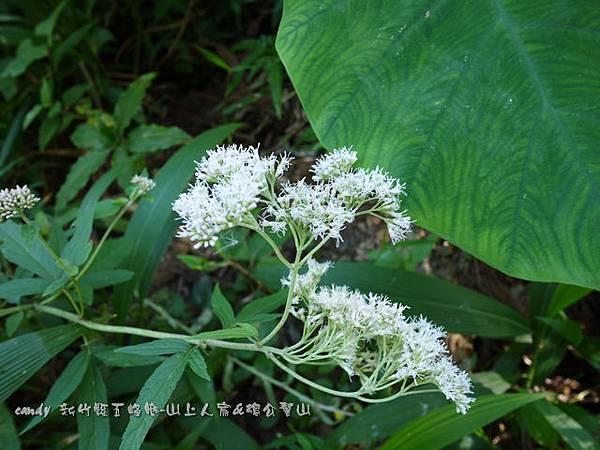 (菊科)台灣澤蘭
